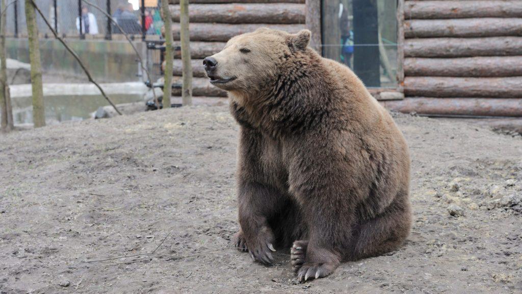 Egy nőstény európai barna medve (Ursus arctos arctos) a Szegedi Vadaspark új barnamedve-bemutatójánál 2015. március 22-én.