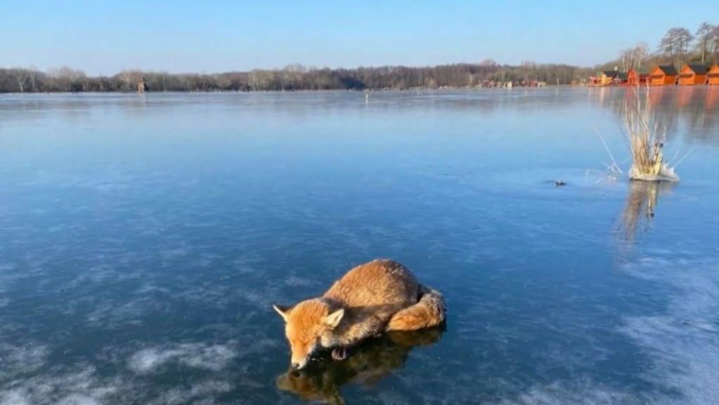 róka, jég