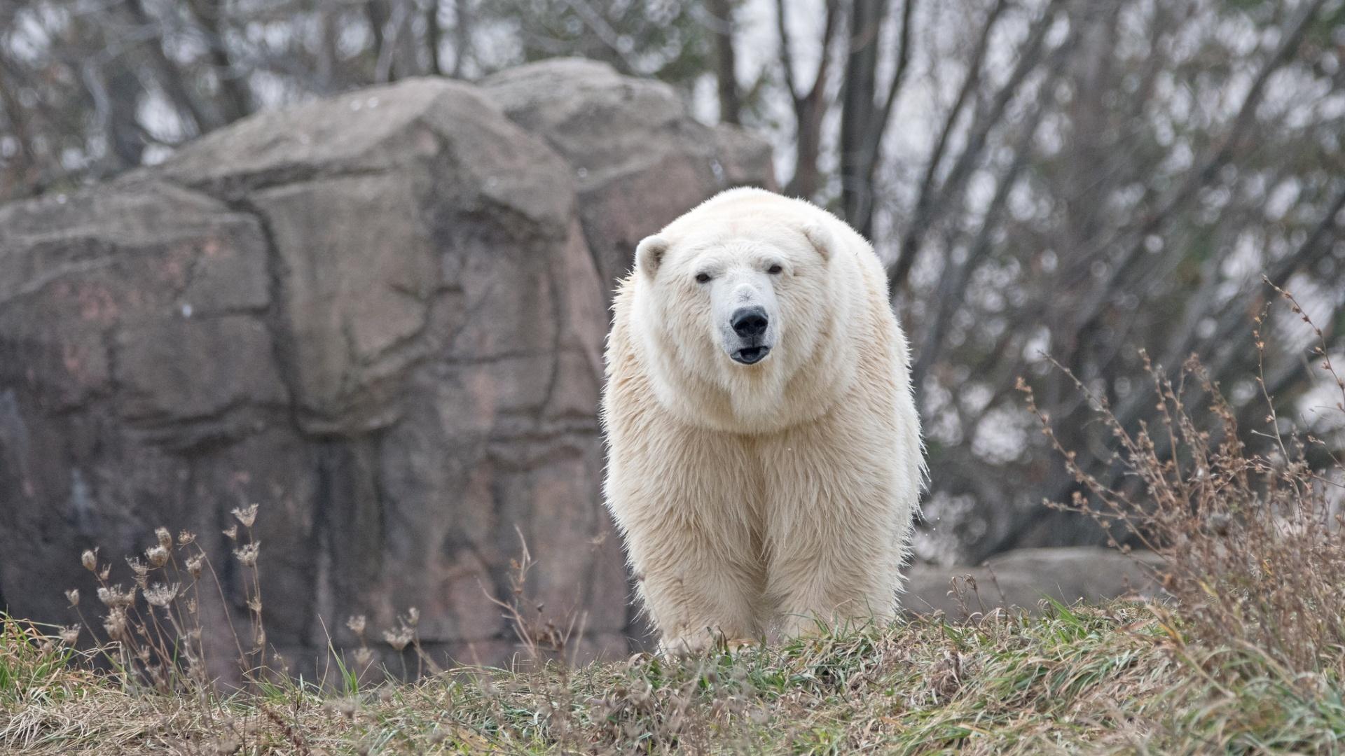 Jegesmedve a Detroiti Állatkertben