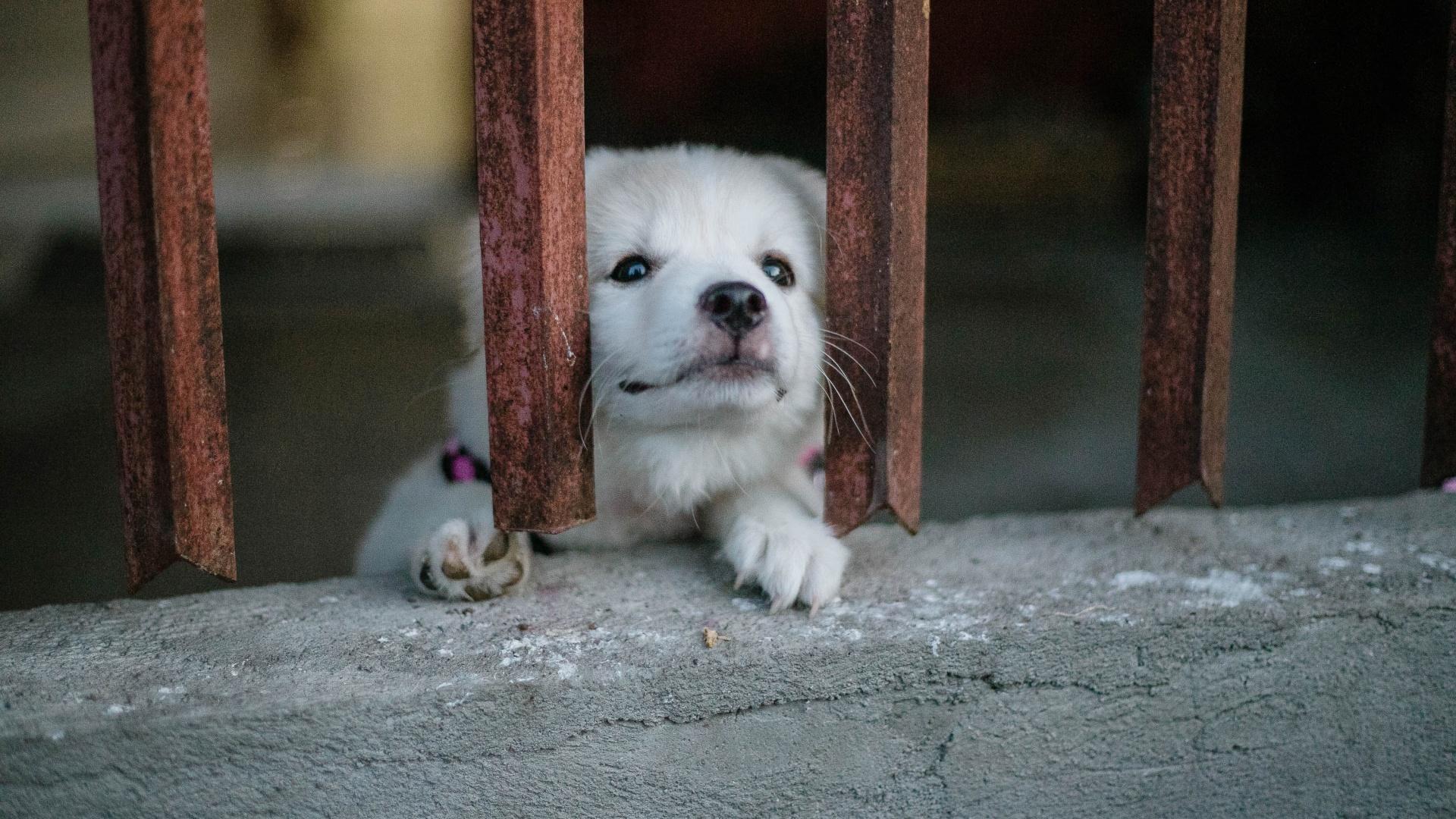 Kutya kerítés mögött