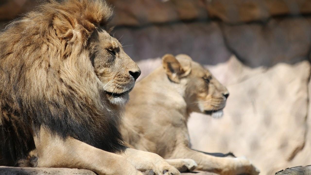 Állatkerti oroszlánok