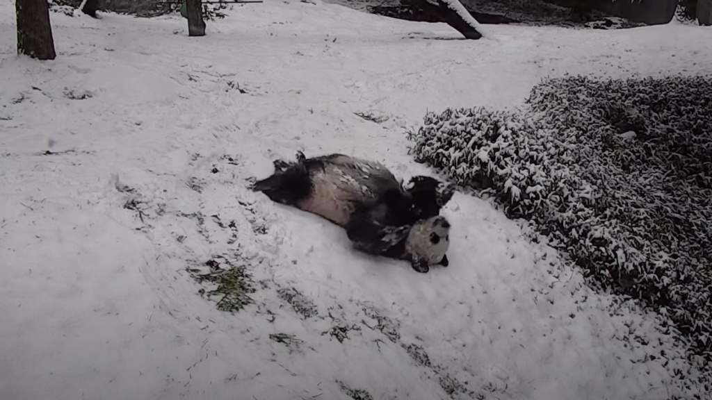 Panda a hóban
