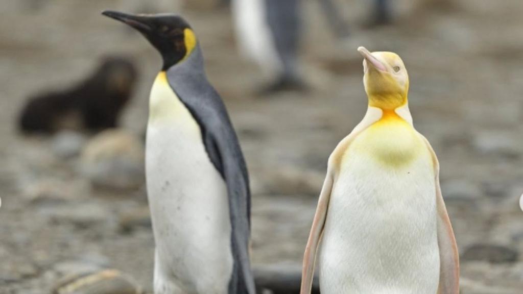 Sárga pingvint fotózott egy fotós