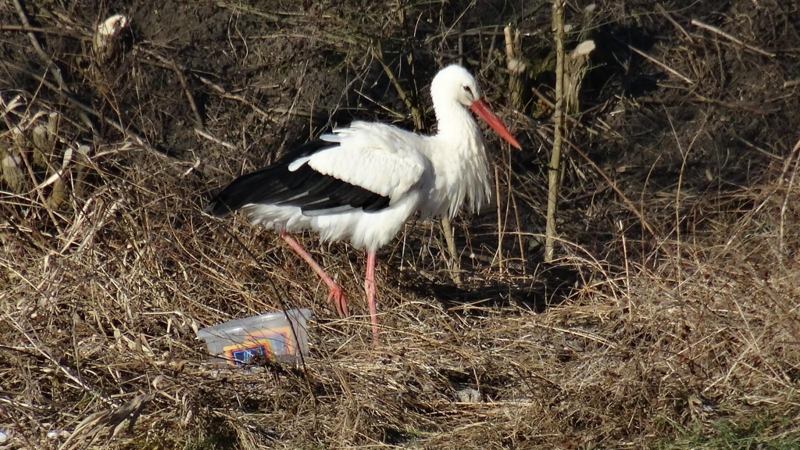Suri, a fehér gólya