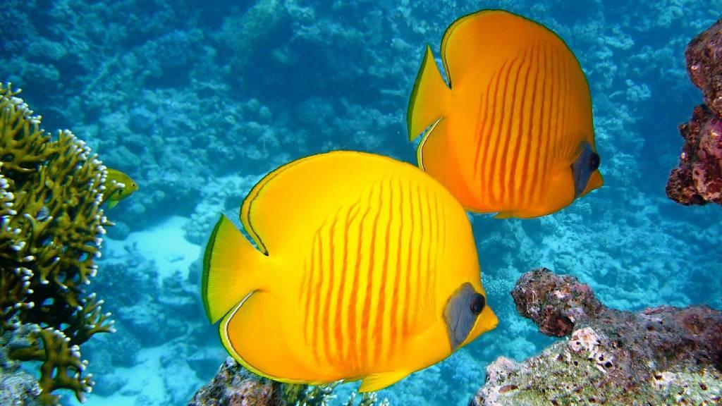 sárga tengeri halak