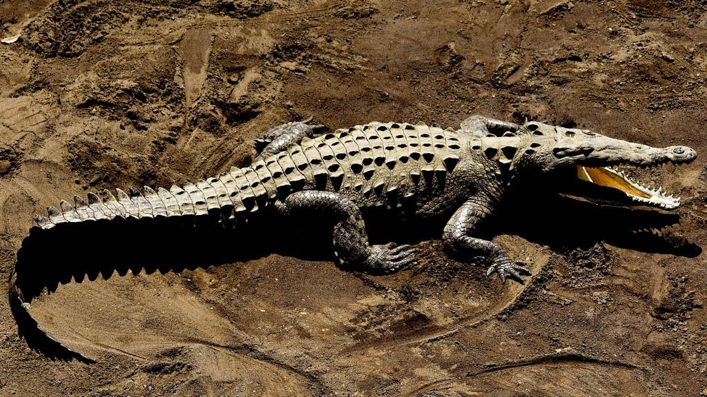 aligátor a homokban