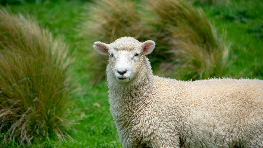 Elhagyta az anyja, most kutyának hiszi magát a bárány