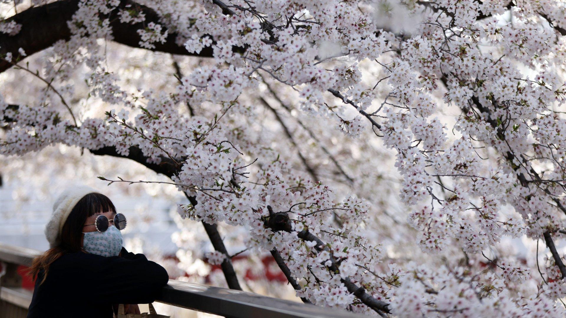 Cseresznyefa-virágzás Japában