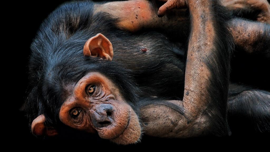 csimpánzok nézik egymást a cseh állatkertben a koronavírus járvány alatt