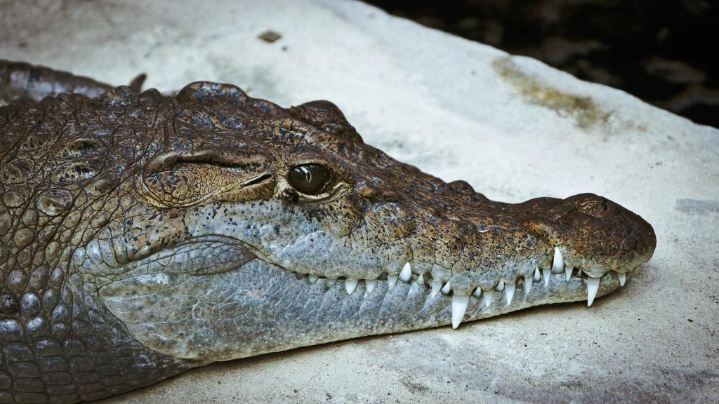 Krokodilt találtak az égő házban