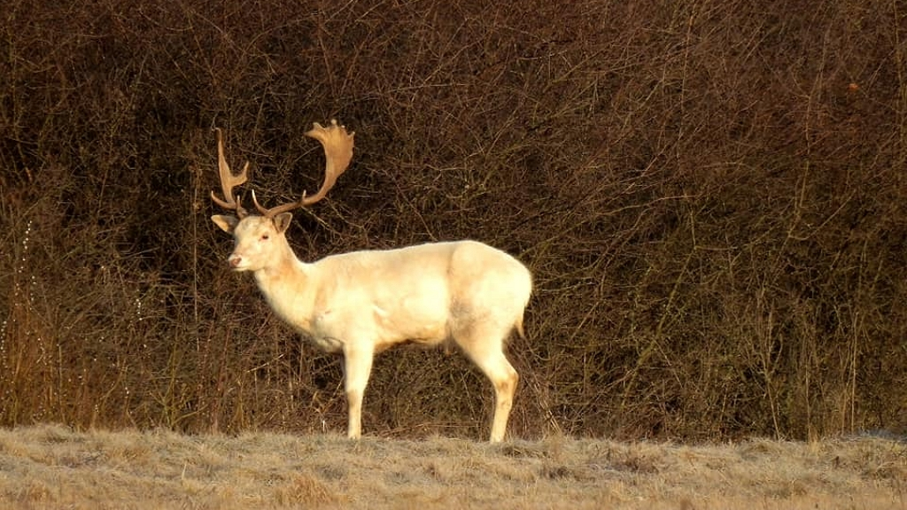Fehér dámszarvast fotózott a természetfotós