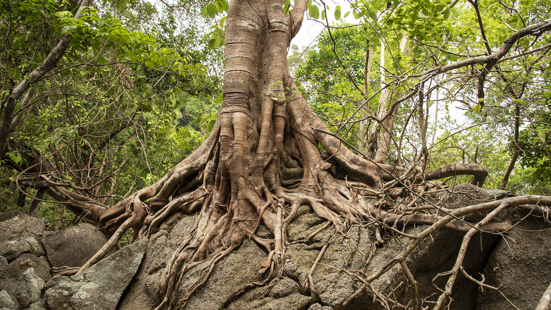 Kivágás helyett emlékművé alakították a megsérült fát