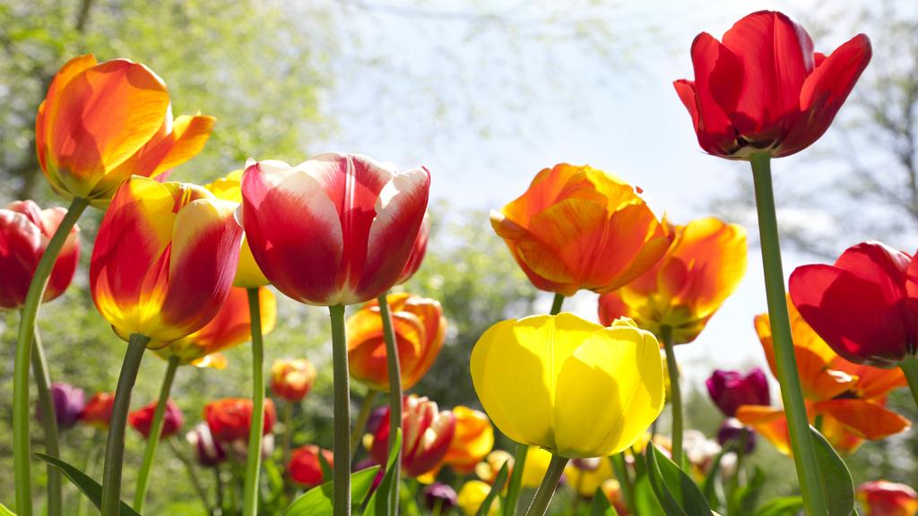 Tulipán a kertben