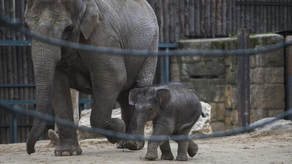 Licitálni lehet a fővárosi állatkert kiselefántjának láblenyomatára