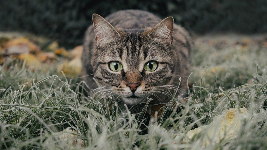 cirmos cica