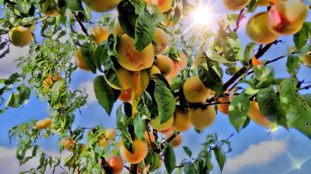 300 mangófajta terem egyetlen fán
