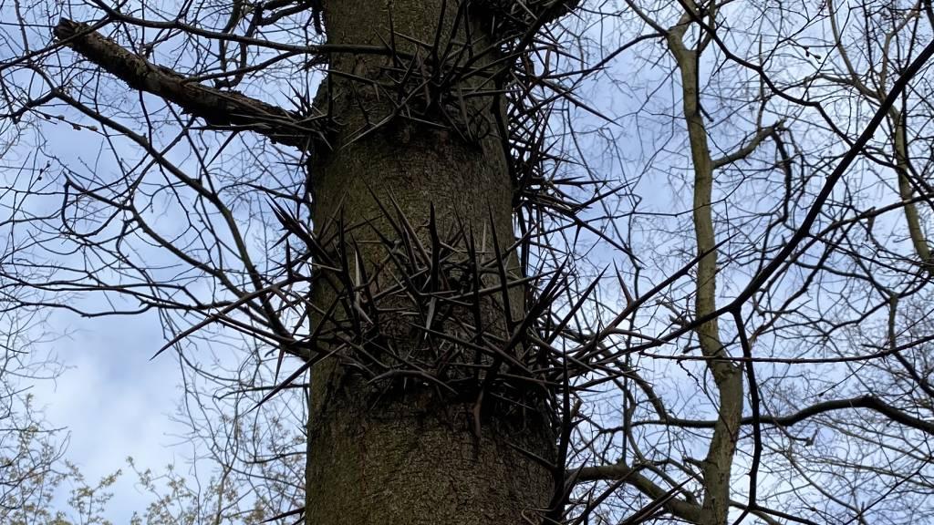 Krisztusfa, tövises lepényfa Újpesten