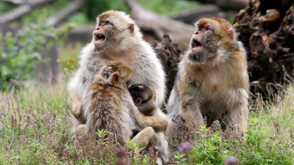 Berber makákók bandáznak (fotó: Profimédia)