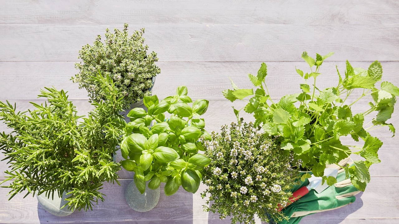 Fűszernövények félárnyékos helyen