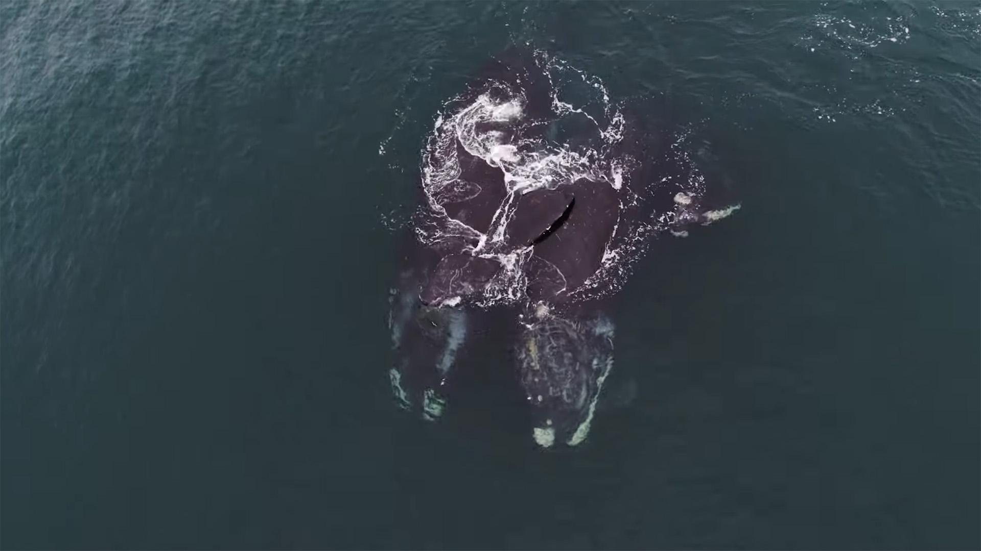 Ölelkező bálnák