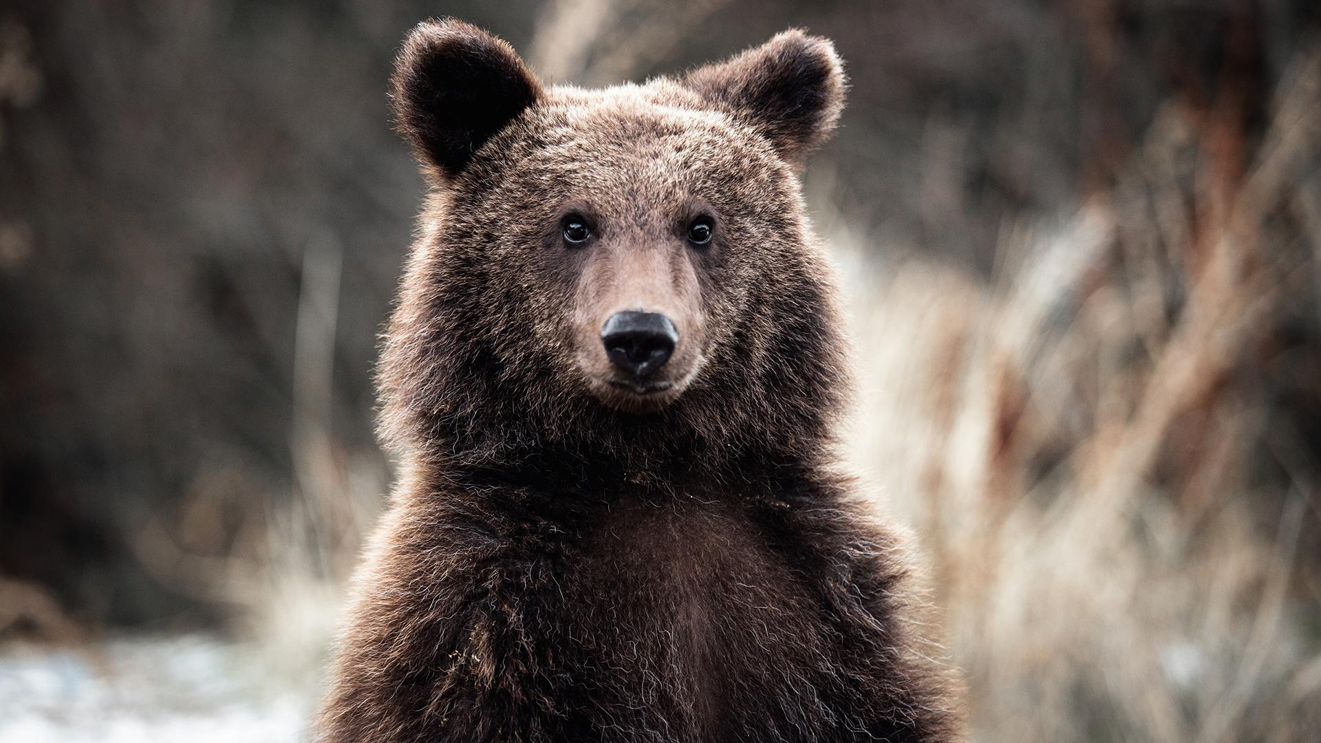 Újra jelt adott magáról a börzsönyi medve