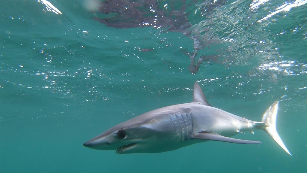 Néhány centire úszott el a kislánytól egy cápa – videó!