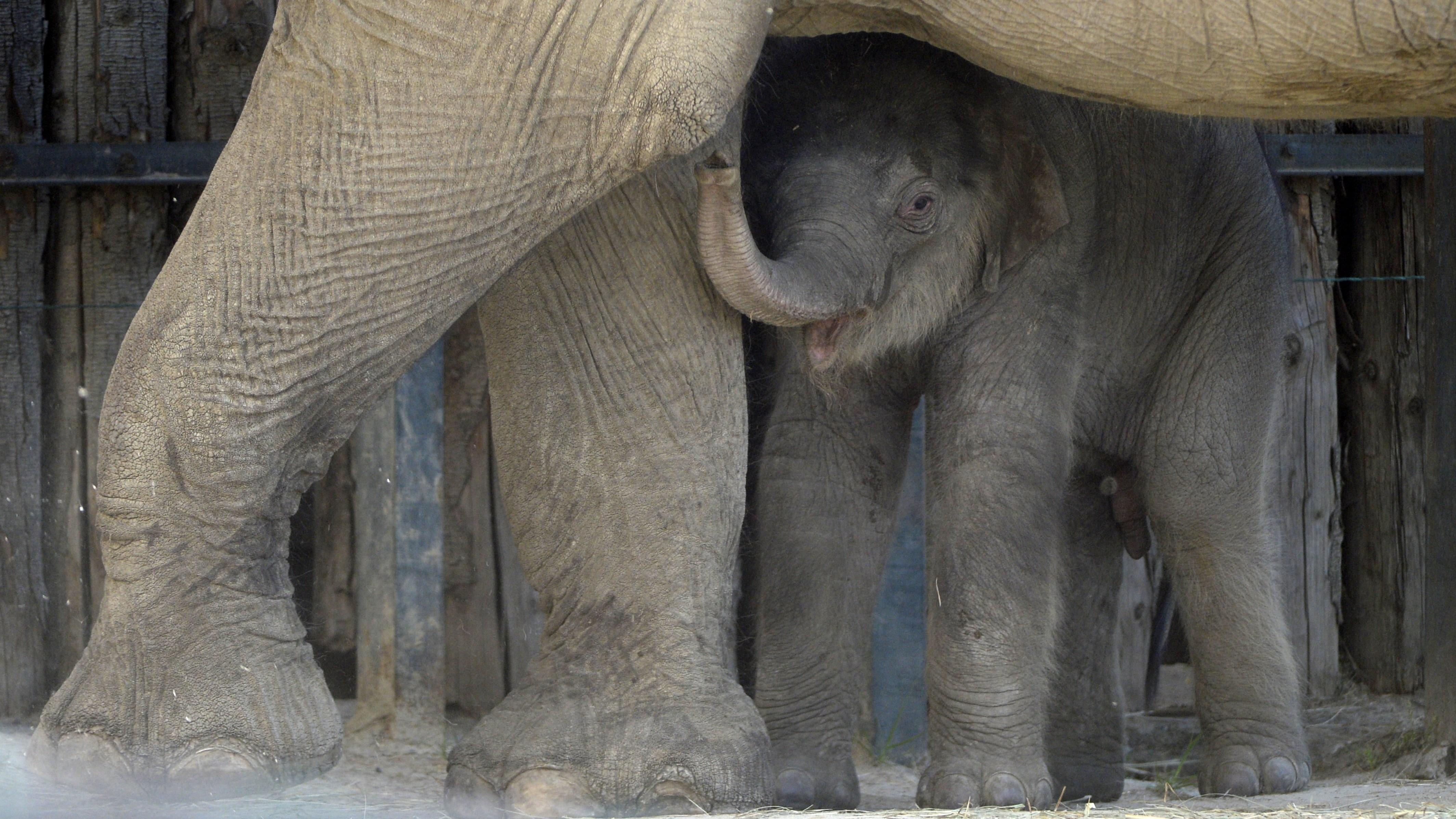 Budapest, 2021. május 1. Angele, a Fővárosi Állat- és Növénykert nőstény ázsiai elefántja egyhetes borjával kifutójukban 2021. május 1-jén.