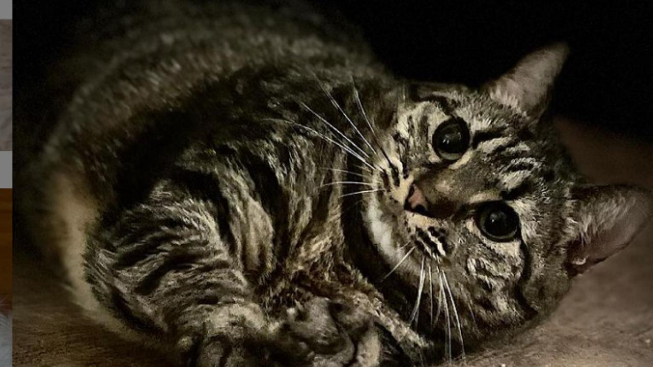 Diétázott eleget, mégsem tud lefogyni Swayze, a teltkarcsú macska