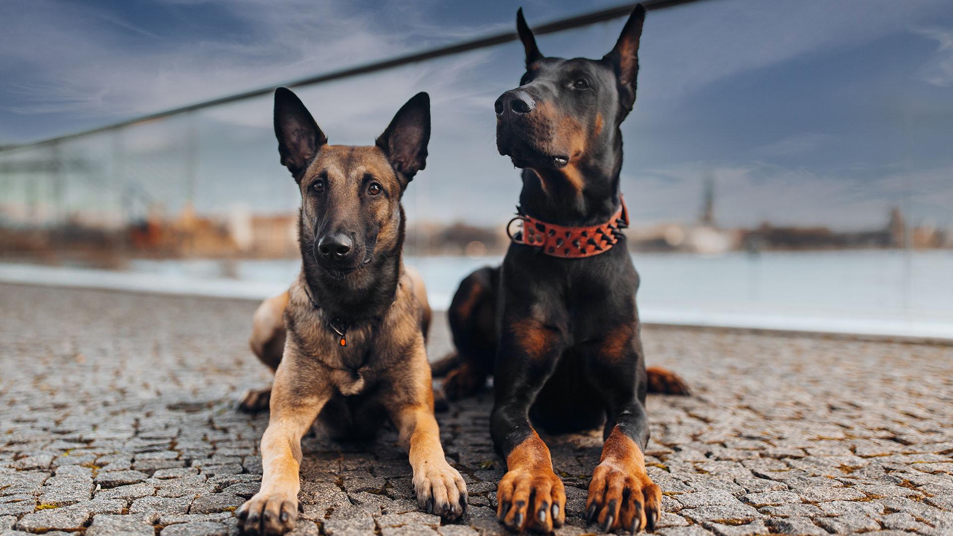 Egy kutya pontosabban kiszagolja a koronavírust, mint egy gyógyszertári gyorsteszt
