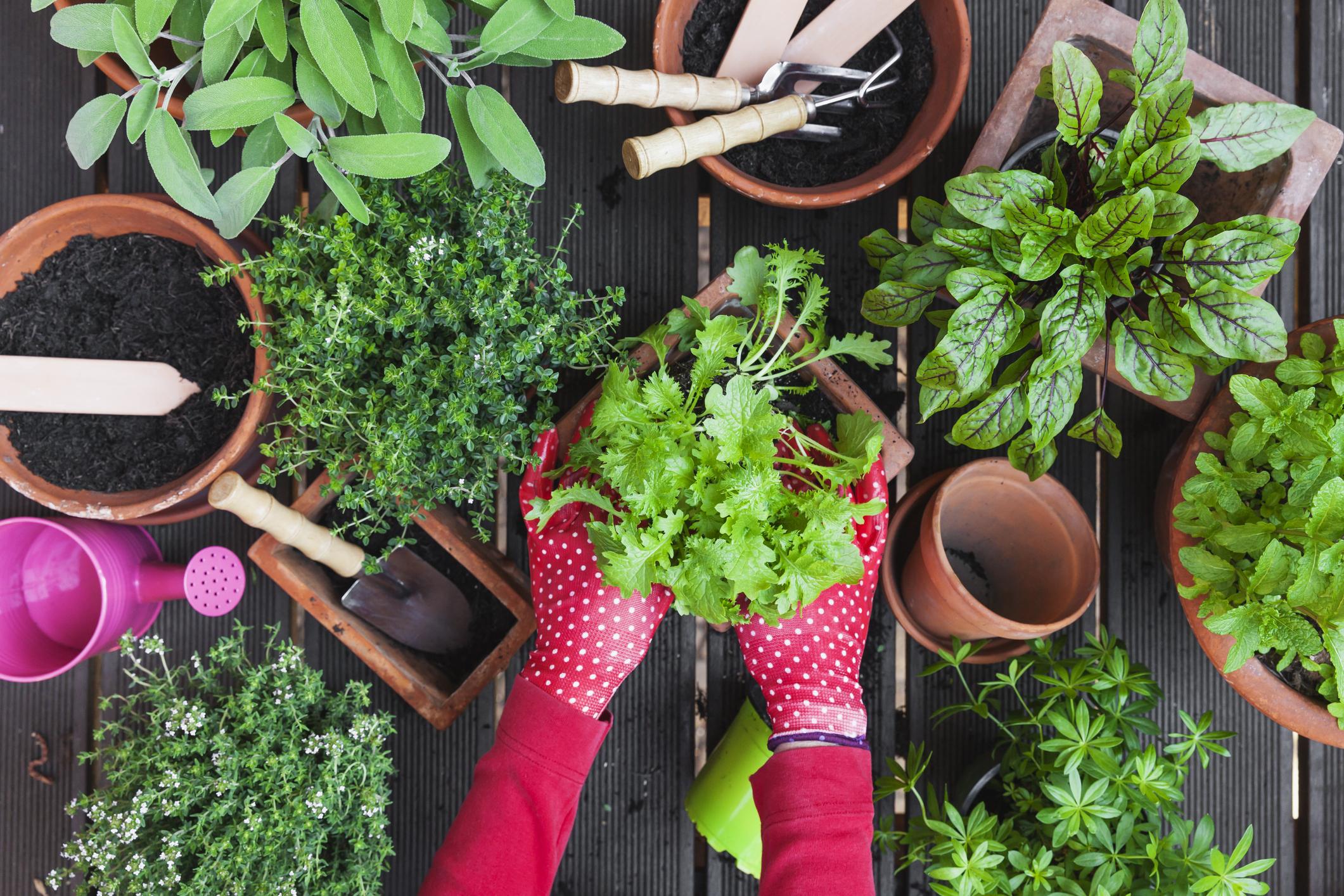Fűszernövények a kertben