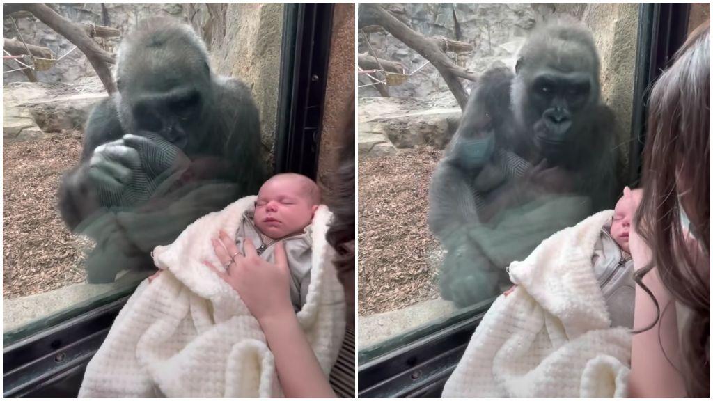 Meghatóan reagált a gorillamama az 5 hónapos kisfiú láttán az állatkertben