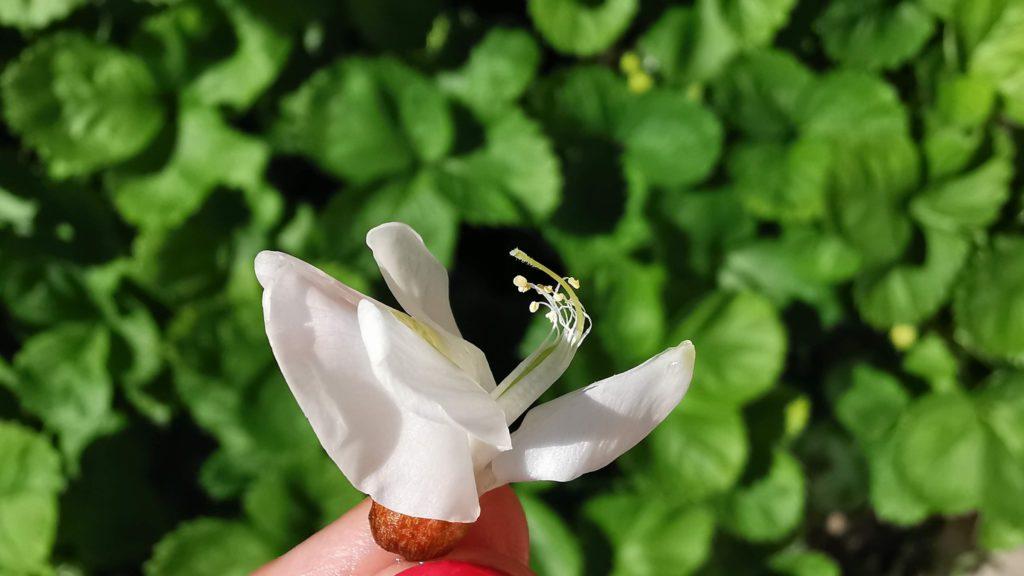 akácvirág bibe