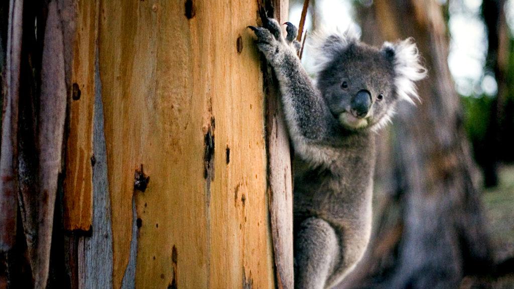 TEsti épségét is kockáztatta a koalamentő férfi