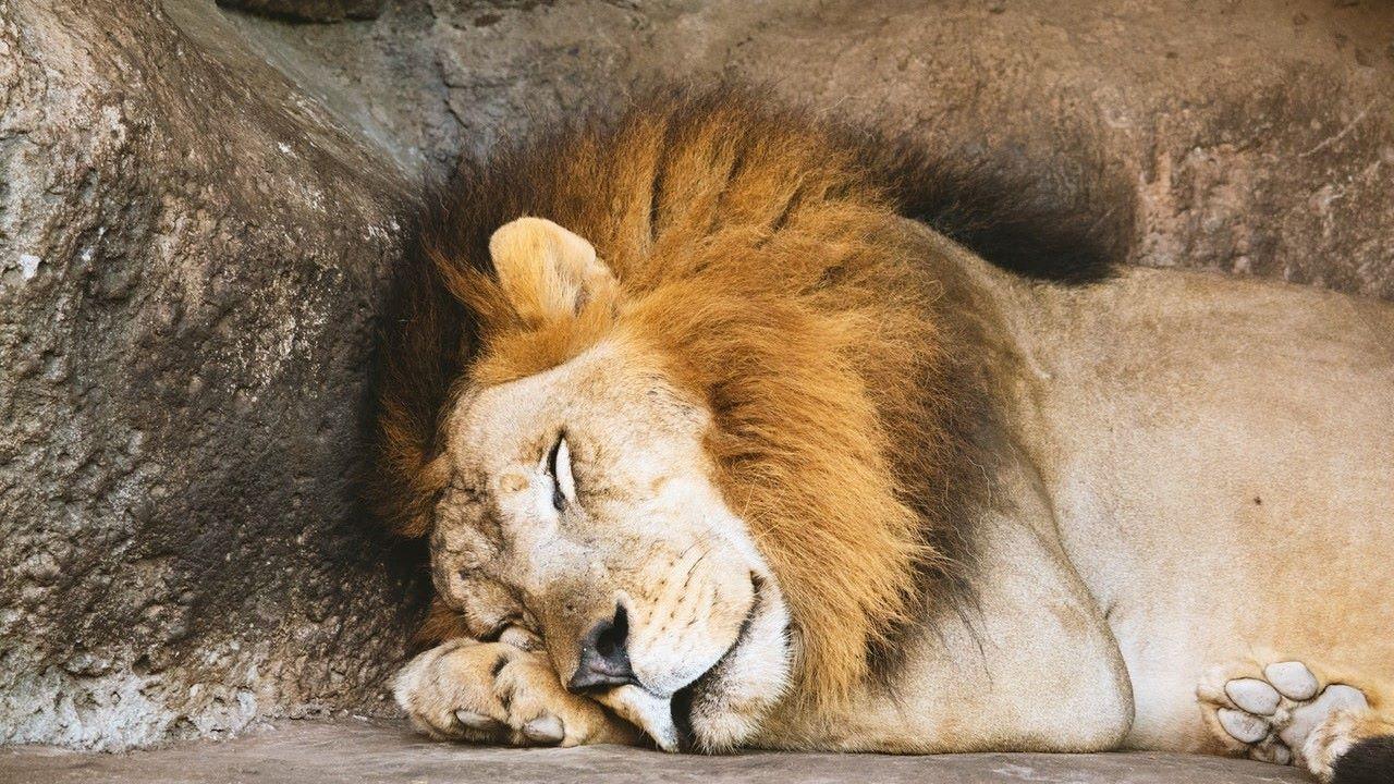 állatkert, oroszlán