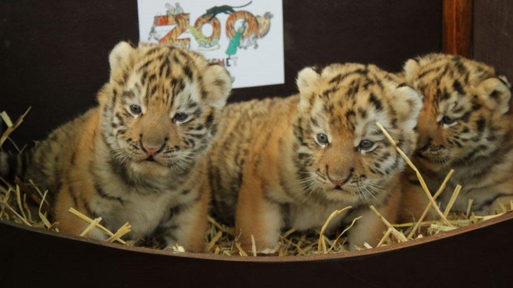 Hármas iker tigriskölykök születtek Kecskeméten