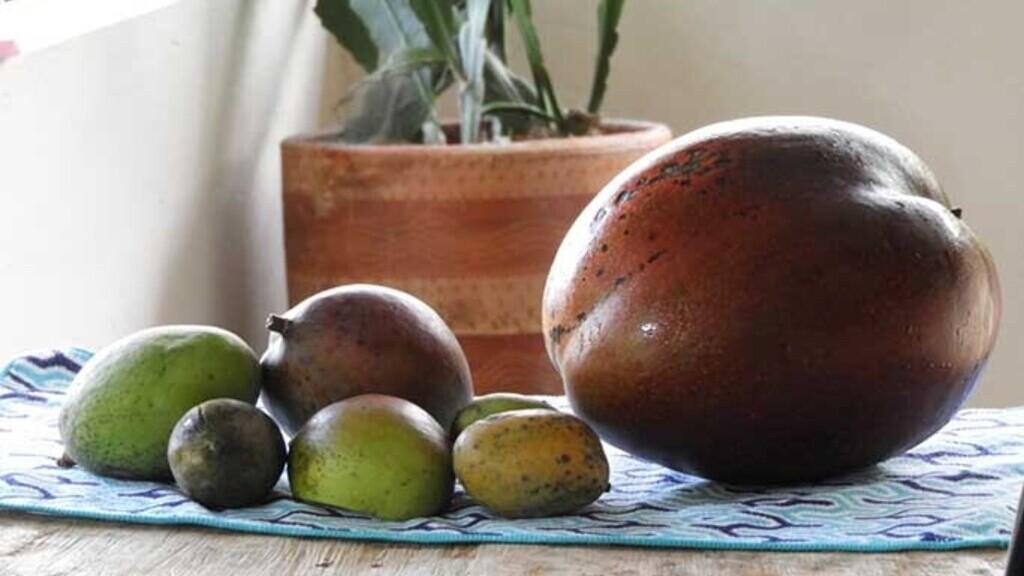 Az óriási mangó (Fotó: Guinness World Records)