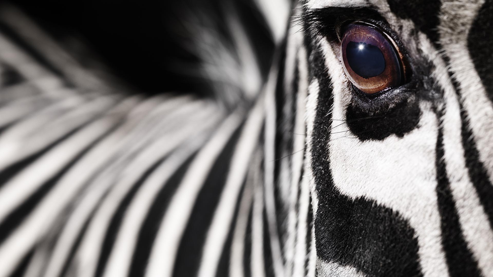 Zebra ügetett egy amerikai autópályán