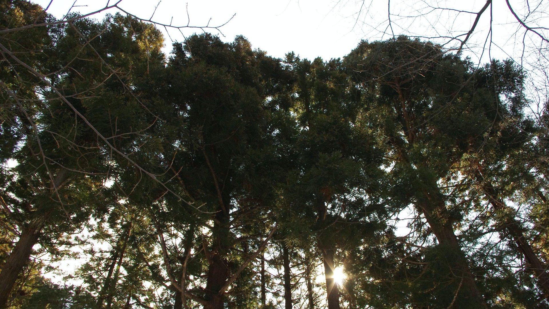 Cédruserdő