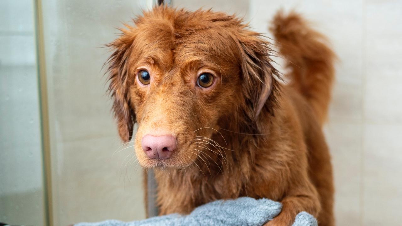 A külön ágy természetes, de ezeknek a kutyáknak privát zuhanyzó is jár