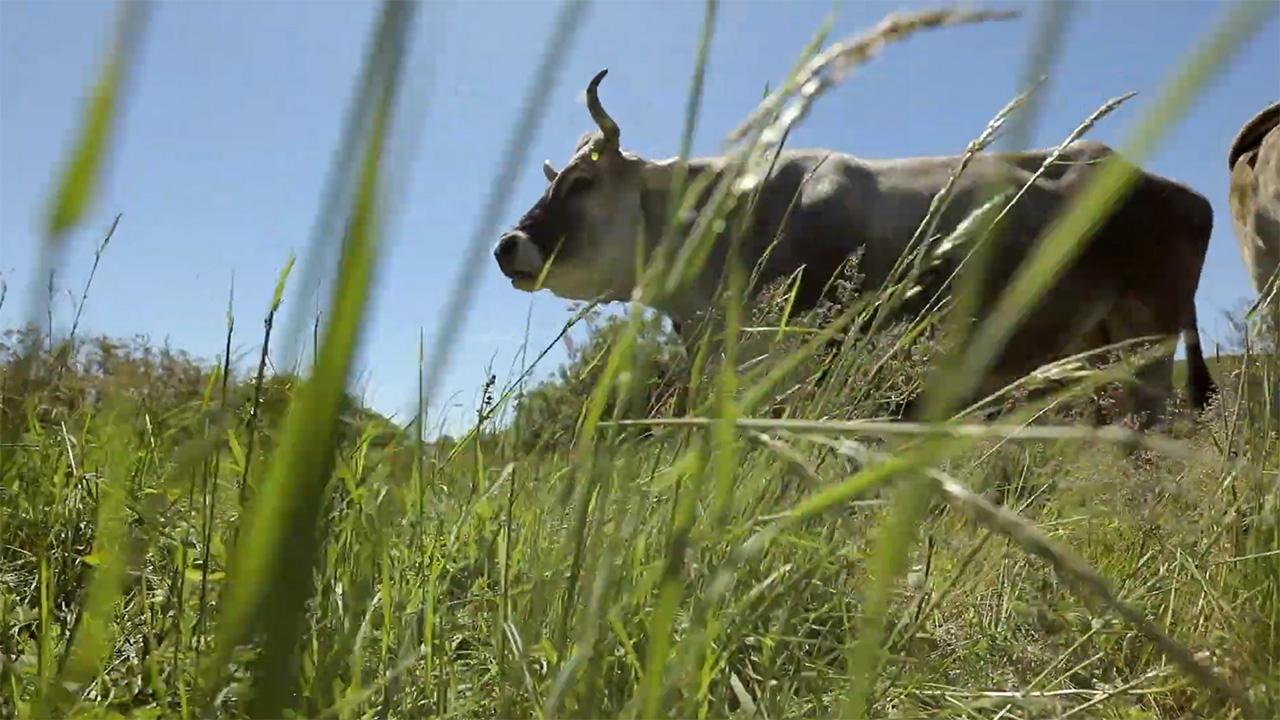 Tehenek és marhák az osztrák sínek mellett