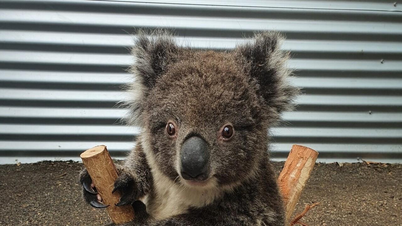 Imádnivaló! Okos trükkel veszik rá a súlymérésre a bébi koalákat