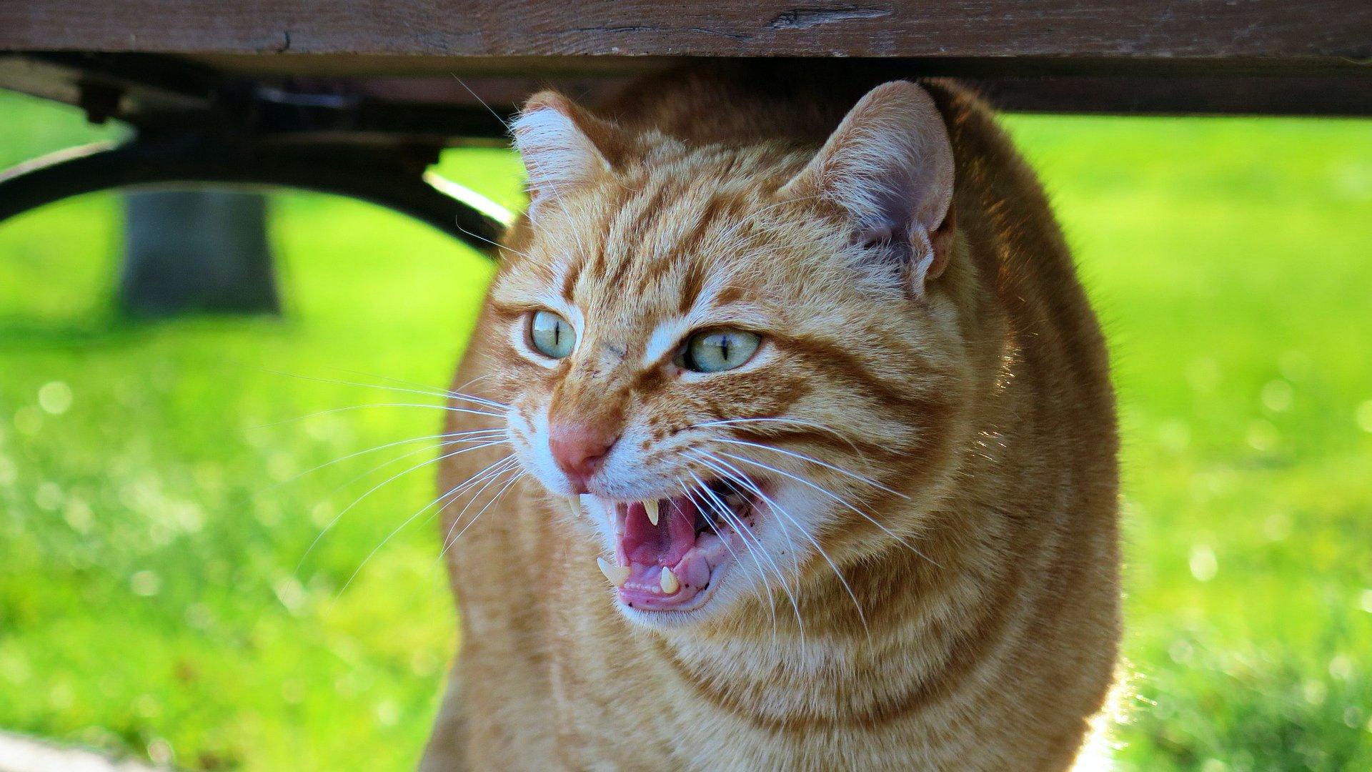 Mérges macska