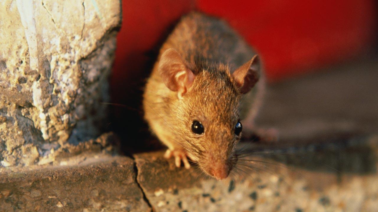 Horror: Óriáspatkány randalírozott az ausztrál Aldiban
