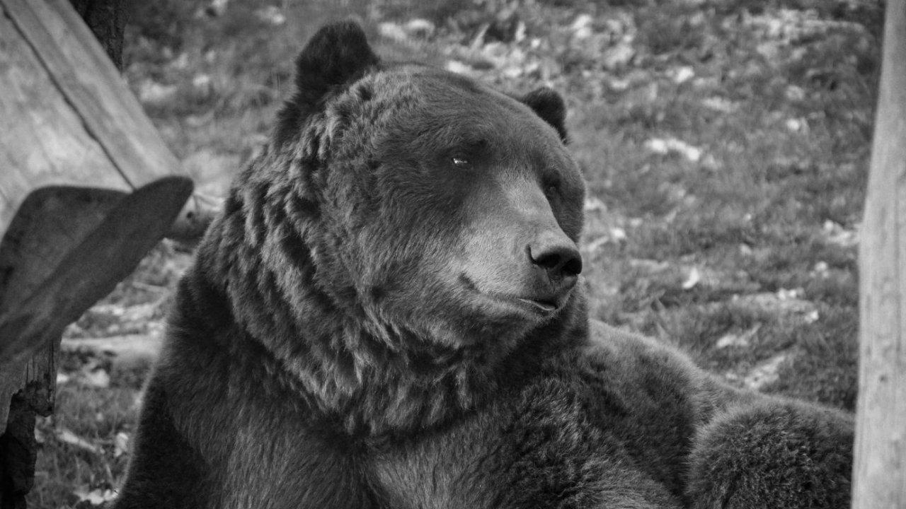Tibor, a Budakeszi Vadaspark elpusztult barnamedvéje