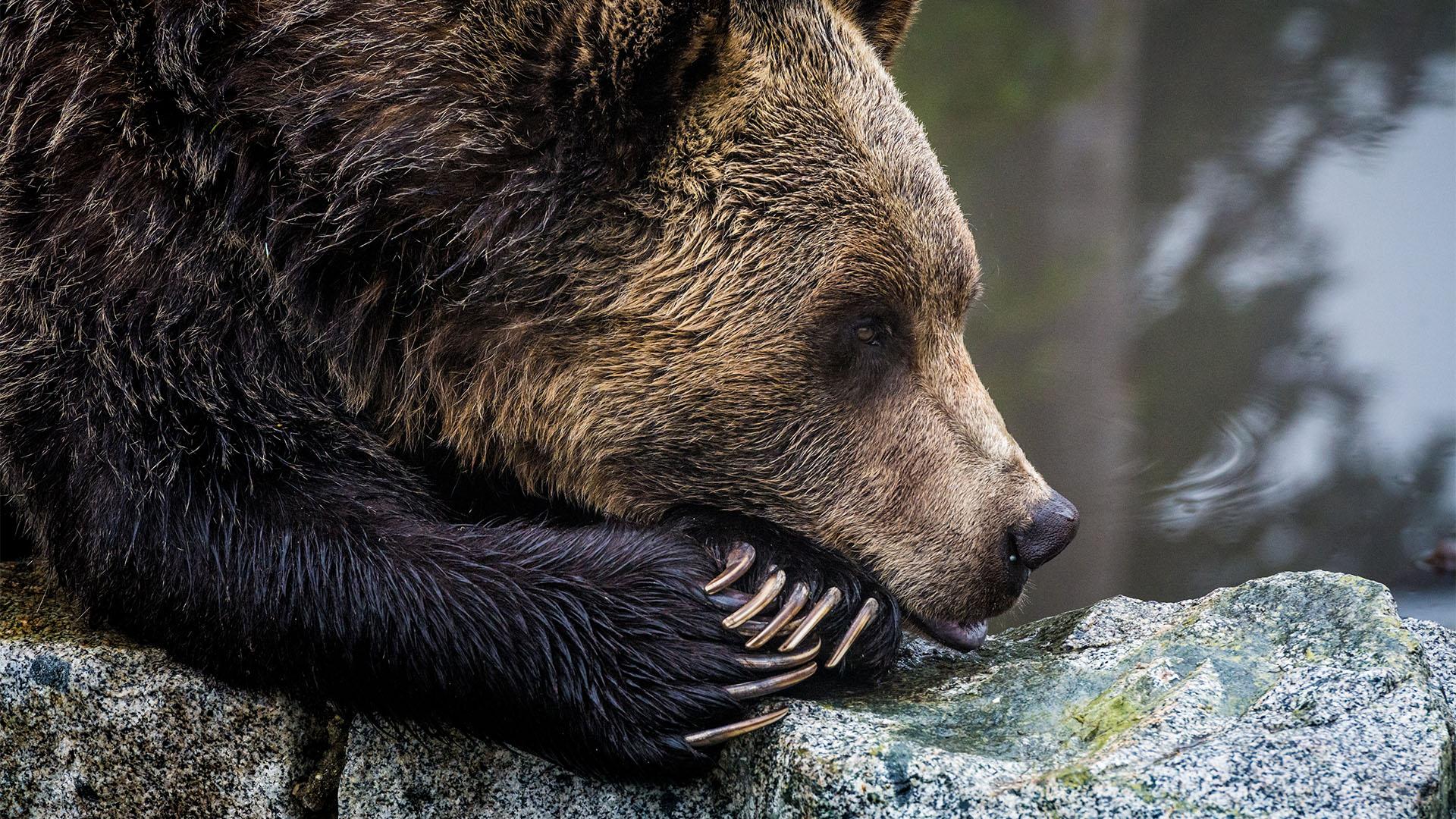 Nem sokon múlott, hogy megölje a medve a meggondolatlan turistát