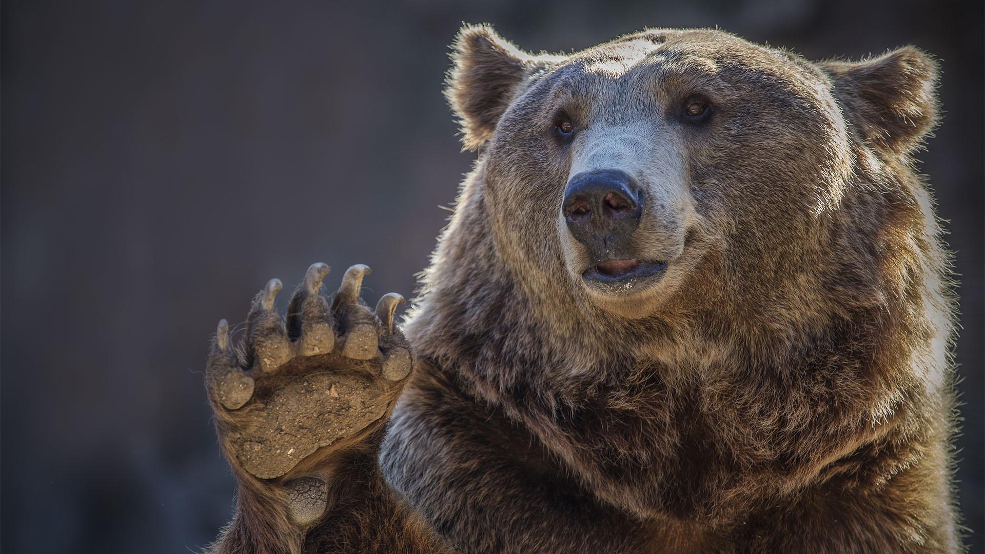 Ismét látták az országban kóborló medvéket