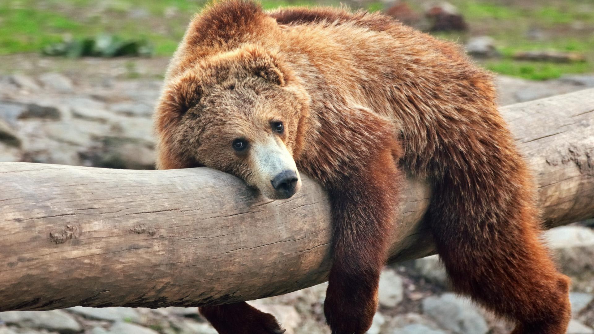 Medvék járnak köztünk, kell félnünk tőlük?