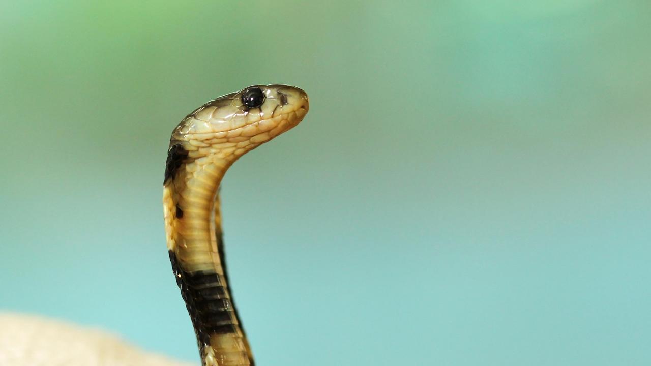 Leveshez levágott kígyó feje végzett a sztárséffel