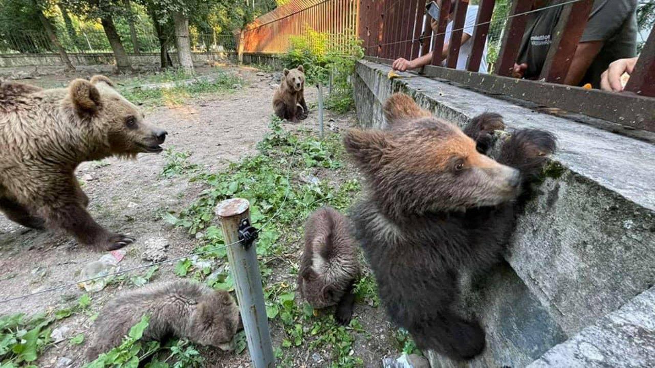 Veresegyházi medvék