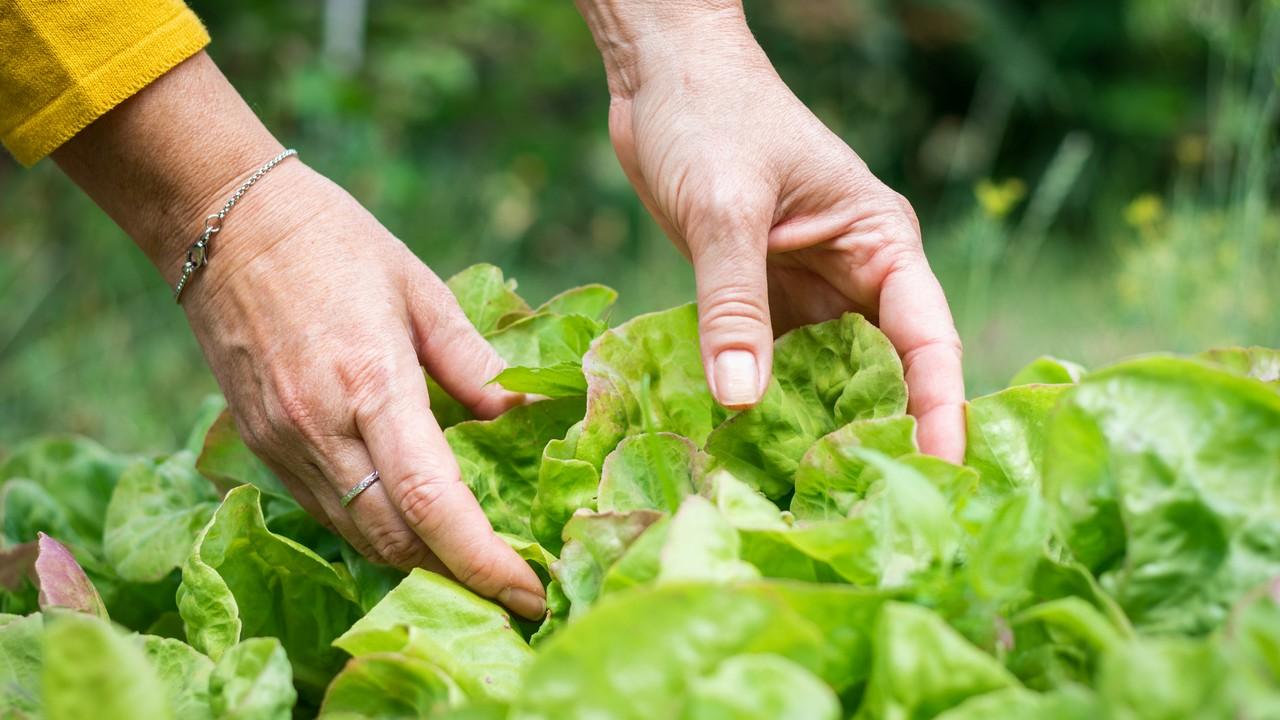 Ősszel ültethető zöldségek: saláta